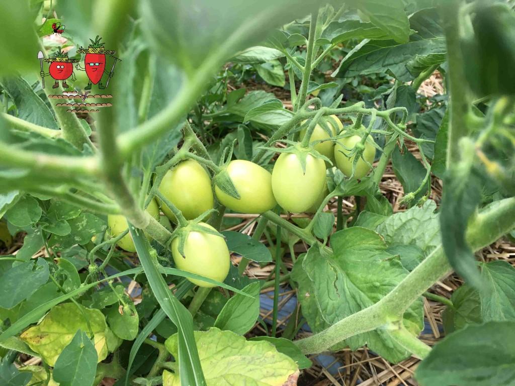 pomodori verdi primo piano